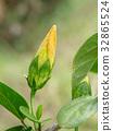 Yellow Hibicus mutabilis flower. 32865524