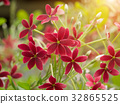 Rangoon creeper flower with sunlight. 32865525