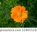 orange cosmos flower in the garden. 32865528