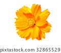 orange cosmos flower in the garden. 32865529
