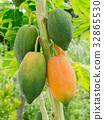 Ripe and raw papaya on the tree. 32865530