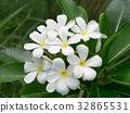 frangipani flower on the tree 32865531