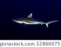 Grey shark ready to attack underwater in the blue 32866075