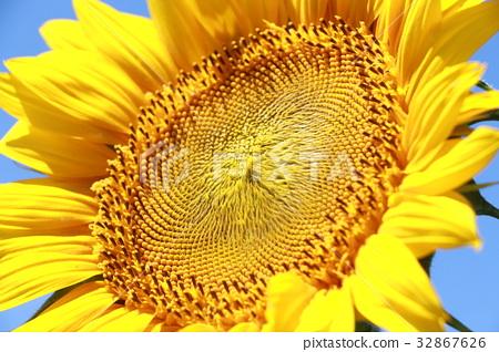 sunflower 32867626