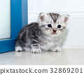 Cute American shorthair cat kitten with copy space 32869201