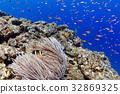말미잘에 사는 나미쿠마노미 오키나와 미야코 섬 · 이라부 섬의 바다 32869325