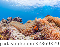 anemone fish, anemonefish, clown anemonefish 32869329