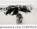 American shorthair mother cat was breastfeeding 32869626