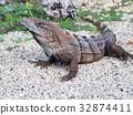 Black Spiny-Tailed Iguana Close-up, Mexico 32874411