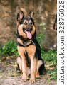 Beautiful German Shepherd Dog Sit In Green Grass 32876028