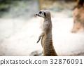 動物 狐獴 哺乳動物 32876091