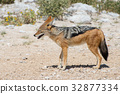 豺 动物 野生生物 32877334