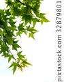 楓樹楓葉青楓與白背景 32879801