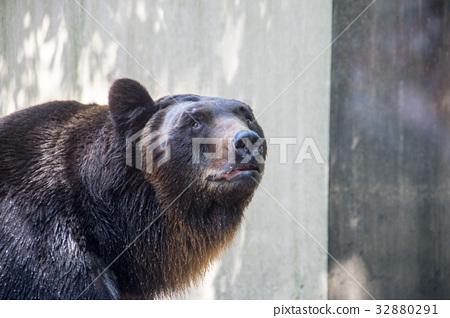 上野動物園|日本黑熊 32880291