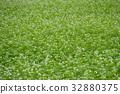 蕎麥花 蕎麥種 花朵 32880375