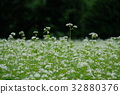 蕎麥花 蕎麥種 花朵 32880376