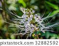 Orthosiphon aristatus (Blume) Miq. 32882592