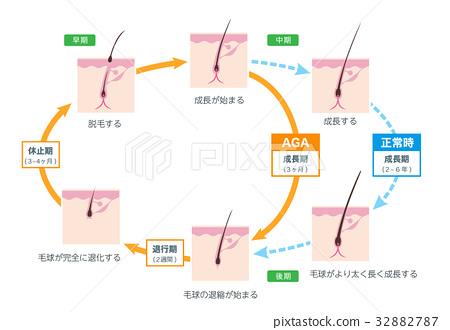 AGA hair cycle stock vector 32882787
