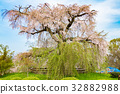 cherry blossom, weeping cherry, weeping cherry tree 32882988