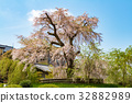 cherry blossom, weeping cherry, weeping cherry tree 32882989