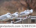 红嘴鸥 野生鸟类 野鸟 32883534