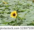 노랑, 꽃, 여름 32887508