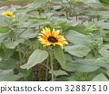 노랑, 꽃, 여름 32887510