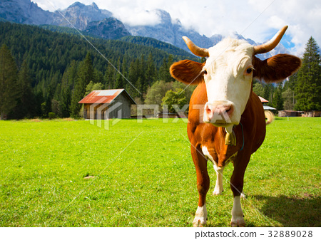 cows at the mountains 32889028