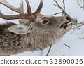 hokkaido, sika, deer 32890026
