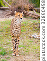 Beautiful Cheetah looking at camera with place for 32890458