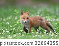 虾夷红狐狸 幼崽 少年狐狸 32894355