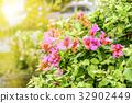 Sunlight, Red Bougainvillea's flowers 32902449