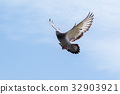 pigeon wing flying against blue sky 32903921