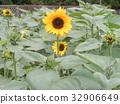 노랑, 꽃, 여름 32906649