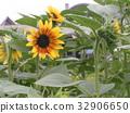노랑, 꽃, 여름 32906650