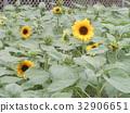 노랑, 꽃, 여름 32906651