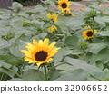 노랑, 꽃, 여름 32906652