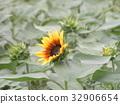 노랑, 꽃, 여름 32906654
