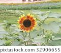 노랑, 꽃, 여름 32906655