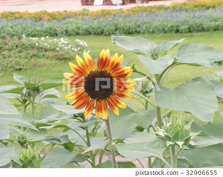 ดอกไม้,แปลงดอกไม้,ฤดูร้อน 32906655
