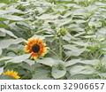 노랑, 꽃, 여름 32906657