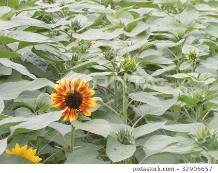 ดอกไม้,แปลงดอกไม้,ฤดูร้อน 32906657