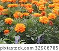 금잔화, 오렌지색, 꽃 32906785