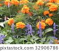 메리, 홍색, 꽃 32906786