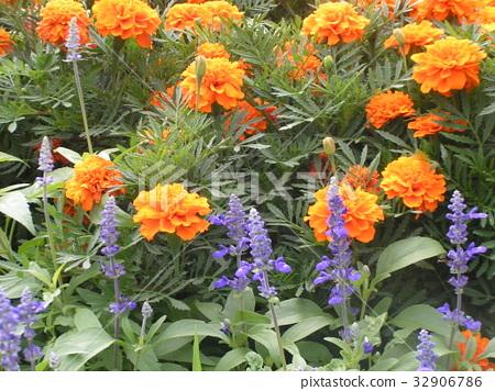 萬壽菊 花朵 花 32906786
