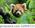 小熊貓 動物園 哺乳動物 32909723