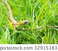 งูคานา 32915163