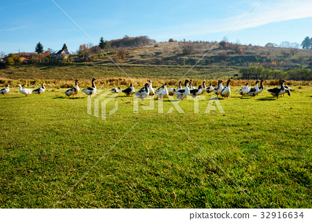 The herd of white adult geese grazing  32916634