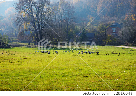 The herd of white adult geese grazing  32916643