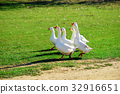 countryside, geese, grazing 32916651
